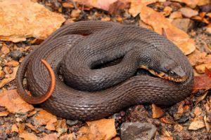 Copper-Bellied Water Snake