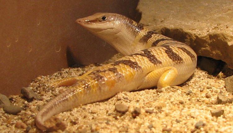SandFish Skink