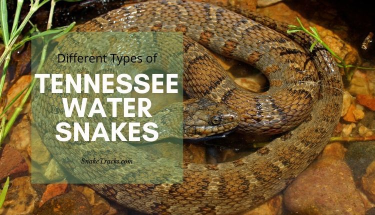 Tennessee Water Snakes