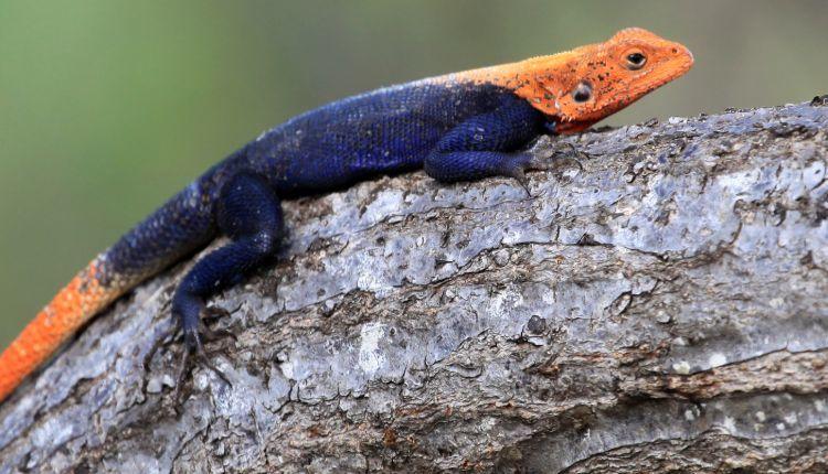 red headed agama lizard uganda africa