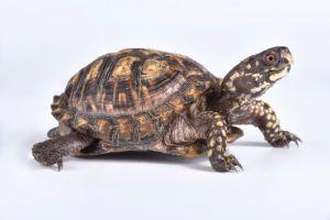 Eastern Boix Turtle