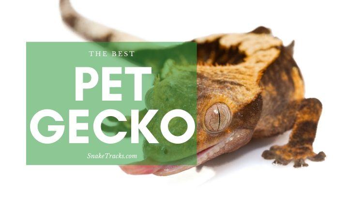 Best Pet Gecko