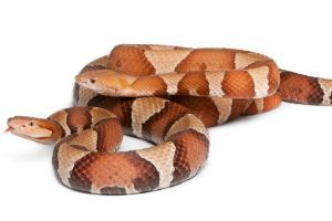 Male and female Copperhead snake