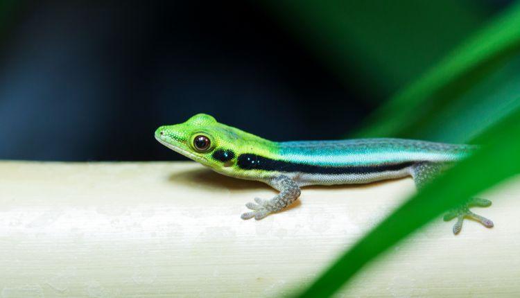 Neon Day Gecko (Phelsuma klemmeri)