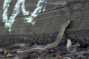 Plains Garter Snake (Thamnophis_radix)