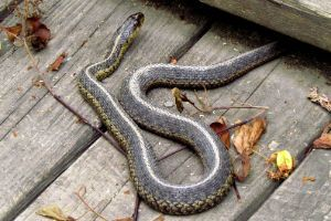Shorthead garter snake (Thamnophis brachystoma)