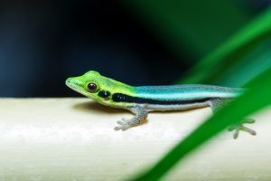 Neon Day Gecko