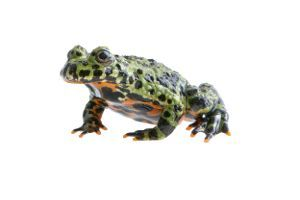 Bombina Orientalis(Green Oriental Fire- bellied toad) on a white background
