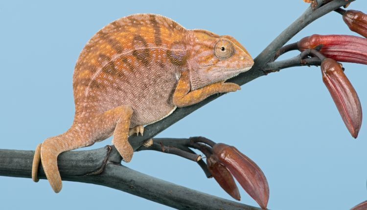 Carpet Chameleon (Furcifer lateralis) Basking on branch