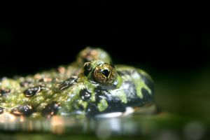 Close up of Green fire bellied toads eyes