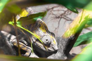 Furcifer Pardalis Ambilobe (Panther Chameleon)