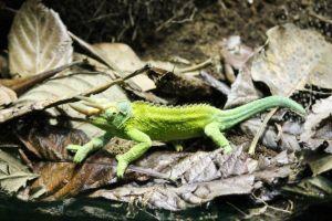 Jackson's Chameleon (Trioceros jacksonii)