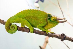Jackson's Chameleon on stick (jacksonii jacksonii xantholophus)