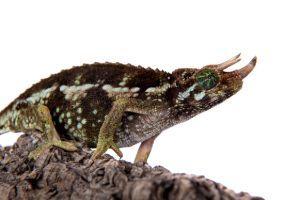 Jacksons horned chameleon (Trioceros jacksonii jacksonii)