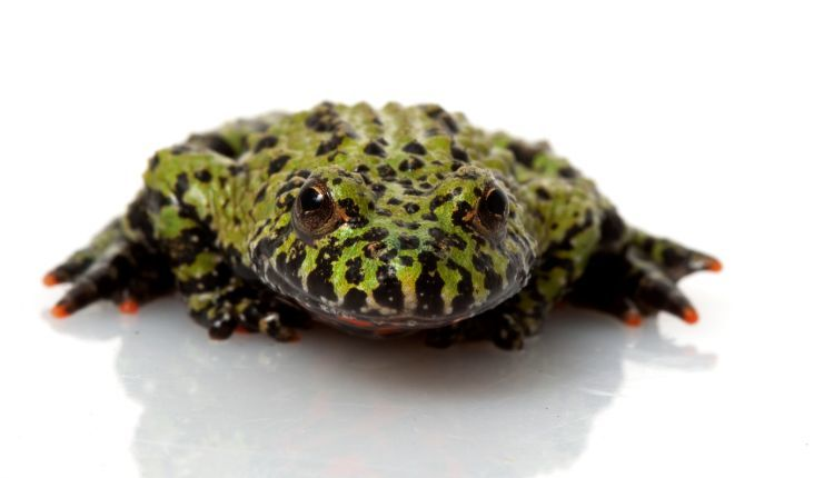 Oriental Fire Bellied Toad Care Guide Snaketracks Com