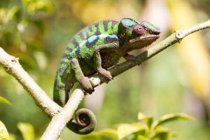 Panther Chameleon (furcifer pardalis) from madagascar