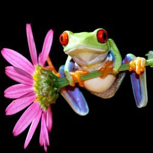 Red Eyed Tree Frog hanging on purple flower