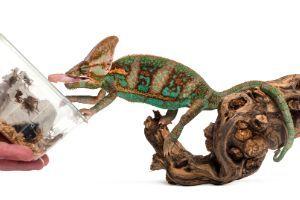 Veiled Chameleon eating crickets