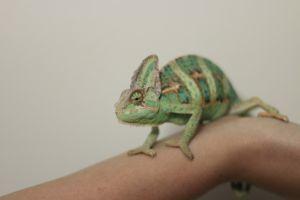 Veiled chameleon being handled