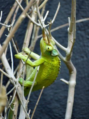 jackson's three horned chameleon (trioceros-jacksonii)