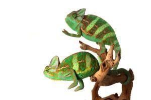 two veiled chameleons on branch