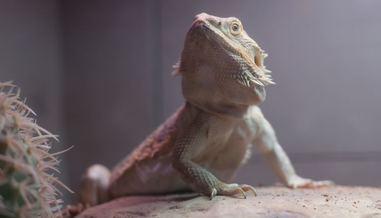 bearded dragon setup