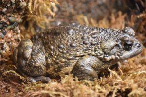 California toad (Anaxyrus boreas)