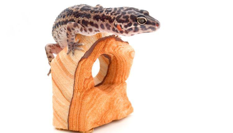 Can leopard geckos climb