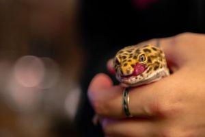 Holding a Leopard Gecko (Eublepharis macularius)