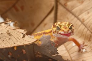 Leopard Gecko Skin Infection