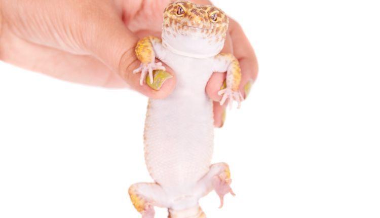 Leopard Gecko prolapse