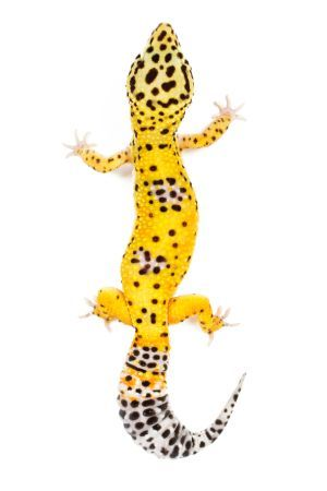 Leopard Gecko vertically showing length