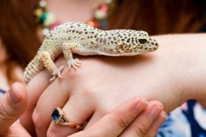 Leopard gecko climbing on womans hand exploring