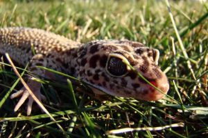 Leopard gecko in grass