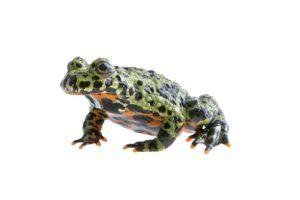 Oriental Fire bellied toad (Bombina Orientalis)