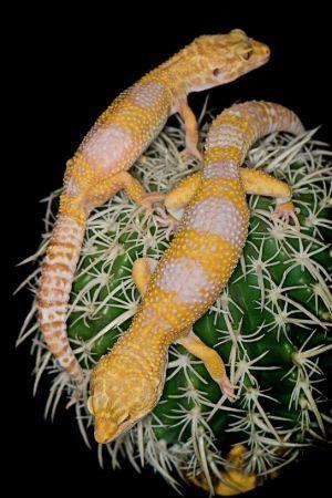 Two Albino Leopard Geckos on a cactus