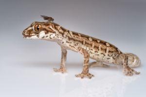 Viper Gecko Care