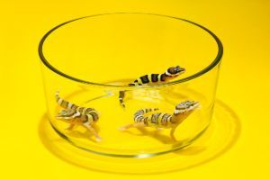 baby leopard geckos in a small glass container