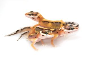 can leopard geckos live together