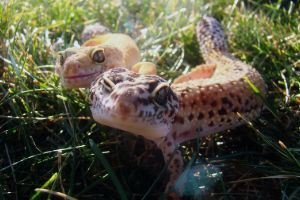 how to sex a leopard gecko
