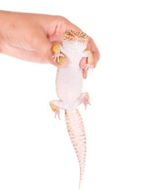 leopard gecko being held without prolapse