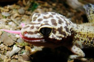 leopard gecko eating a pinky mouse