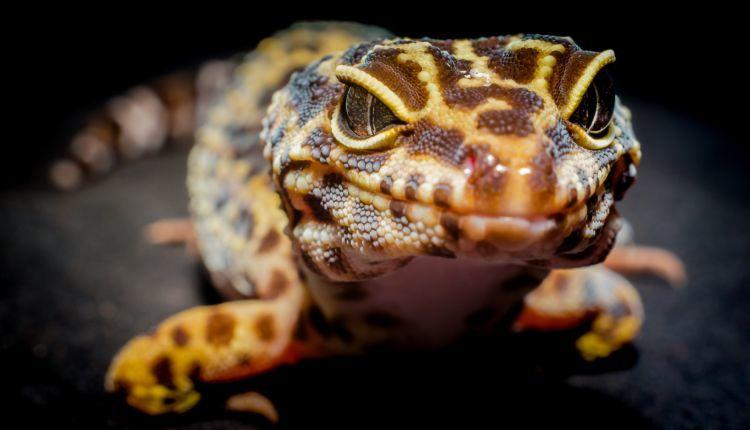 leopard gecko eyes