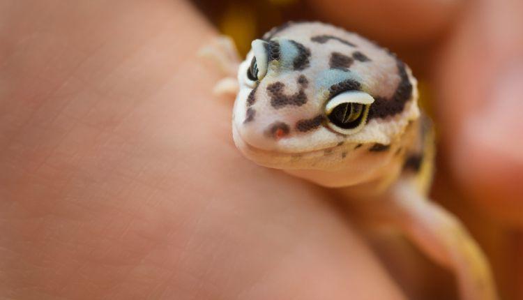leopard gecko handling