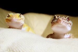 leopard geckos on couch looking up towards camera