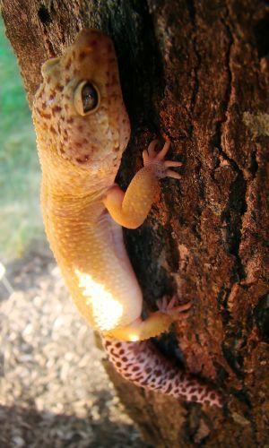 tangerine leopard gecko climbing a tree