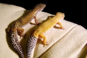 two leopard geckos next to each other on top of couch