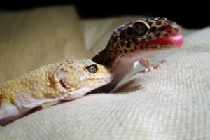 two leopard geckos together