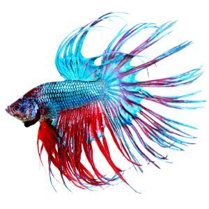 Betta FIsh (Betta splendens)
