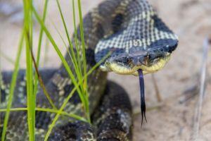 Eastern Hognose (Heterodon platirhinos) Snake with flattened head coiled up